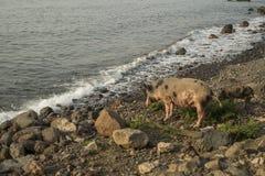 走的猪由海 免版税库存照片