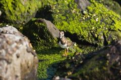 走的矶鹞沿海岸线的岩石 免版税库存照片