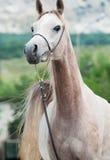 走的美丽的阿拉伯小雌马画象在山backgrou的 免版税库存图片