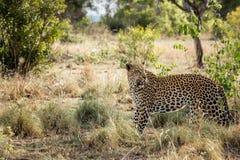 走的豹子在克留格尔国家公园,南非 免版税库存照片