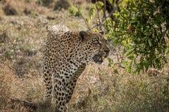 走的豹子在克留格尔国家公园,南非 库存照片