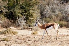 走的跳羚-野生生物公园 库存图片