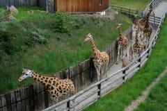 走的长颈鹿牧群 免版税库存照片