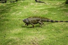 走的鬣鳞蜥 免版税库存图片