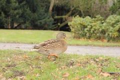 走的鸭子在公园 免版税库存照片