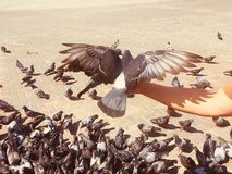 走的鸽子和的鸠在街道上户外 免版税库存图片