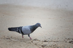 走的鸽子搜寻食物 库存照片