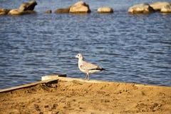 走的鸽子海滩 免版税库存图片
