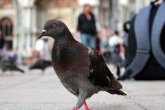 走的鸽子-信使和背包在意大利 免版税库存图片
