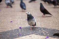 走的鸽子 图库摄影