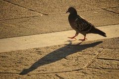走的鸽子 免版税库存照片