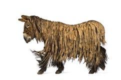 走的Poitou驴,隔绝在白色 免版税库存图片