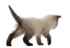 走英国Shorthair的小猫, 5个星期年纪 库存图片