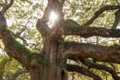 走路通过橡木的太阳 库存照片