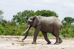 走通过在他的途中的绿色灌木的大象到一个水坑 库存照片