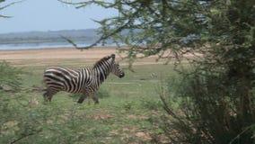 走通过在大草原的树的斑马 股票视频