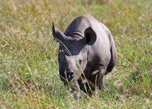 走通过在马塞人玛拉的草的黑犀牛小牛 免版税库存图片