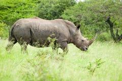 走通过在Umfolozi比赛储备,南非的刷子的白色犀牛,在1897年建立 库存照片