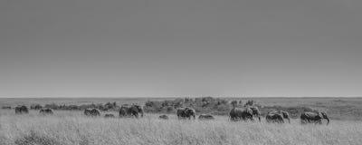 走通过大草原的大象家庭  免版税图库摄影
