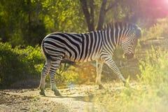 走通过大草原的斑马在南非 免版税库存图片