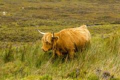走通过它象草的领域的一头华美的高地母牛 免版税库存照片