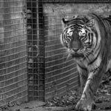 走通过封入物的老虎,拍摄在黑白照片在口岸Lympne徒步旅行队公园在阿什富德肯特英国附近 免版税库存照片