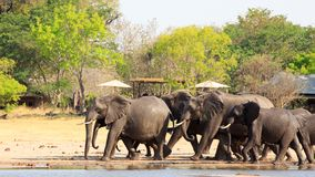 走通过有盖的瑞士山中的牧人小屋和遮阳伞的非洲小屋的大象在Makololo 库存图片