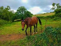走通过有绿草领域的一个大农场的秀丽棕色马 免版税库存照片