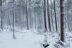 走通过有雪的冬天森林在晚afte期间 库存照片