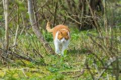 走通过树木丛生的沙丘的野生漫游的猫登陆寻找牺牲者 免版税库存照片