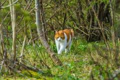 走通过森林的野生漫游的猫 图库摄影