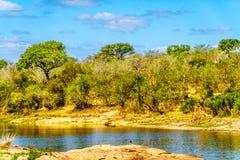 走通过森林的长颈鹿在Olifant河在克留格尔国家公园 库存图片