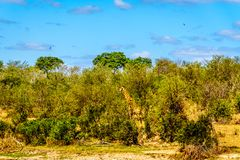 走通过森林的长颈鹿在Olifant河在克留格尔国家公园 库存照片