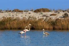 走通过水的桃红色火鸟 免版税库存照片