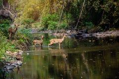 走通过水的鹿和hinds到森林 图库摄影