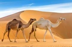 走通过沙漠的骆驼 库存照片