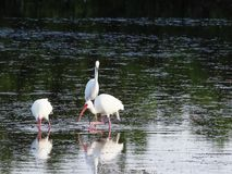 走通过浅水区的白色朱鹭Eudocimus albus寻找食物 股票视频