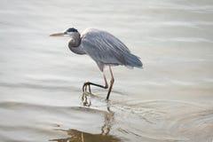 走通过海湾的蓝色苍鹭 免版税库存照片