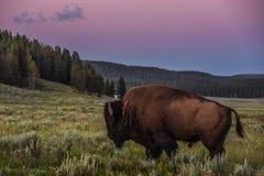 走通过海登谷草甸的北美野牛在日落 免版税图库摄影