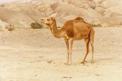 走通过狂放的沙漠沙丘的骆驼 对晴朗的干燥wildernes的徒步旅行队旅行 免版税库存照片
