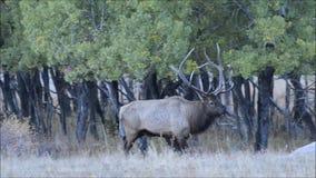 走通过白杨木树丛的公牛麋在交配季节期间 股票录像