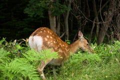 走通过知床国立公园的森林和领域的一头幼小Yezo Sika鹿 免版税库存照片