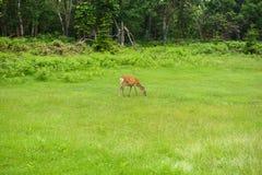 走通过知床国立公园的森林和领域的一头幼小Yezo Sika鹿 库存照片
