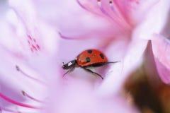走通过花瓣的瓢虫 免版税图库摄影