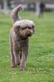 走通过象草的领域的标准长卷毛狗 免版税库存图片
