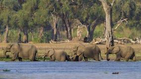 走通过水的大象牧群 免版税图库摄影