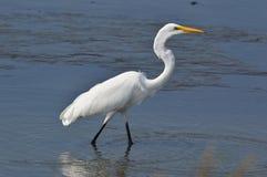 走通过水的白色白鹭 免版税库存图片