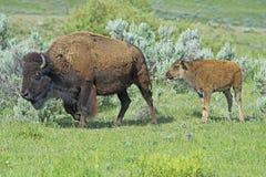 走通过绿草的婴孩北美野牛在妈妈之后 免版税库存照片