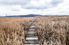 走道在干燥共同的芦苇床上在野生生物储备的沼泽 免版税库存图片