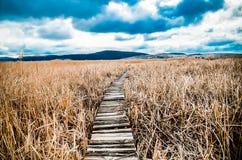 走道在干燥共同的芦苇床上在野生生物储备的沼泽 库存图片